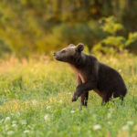Niedźwiedź brunatny Ursus arctos 1541