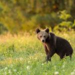 Niedźwiedź brunatny Ursus arctos 1553