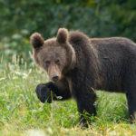 Niedźwiedź brunatny Ursus arctos 1615