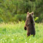 Niedźwiedź brunatny Ursus arctos 1637