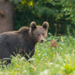 Niedźwiedź brunatny Ursus arctos 1645