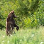 Niedźwiedź brunatny Ursus arctos 1648