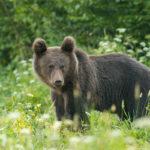 Niedźwiedź brunatny Ursus arctos 1712