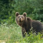 Niedźwiedź brunatny Ursus arctos 1759