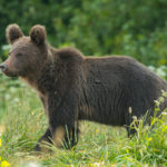 Niedźwiedź brunatny Ursus arctos 1782