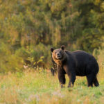 Niedźwiedź brunatny Ursus arctos 2289
