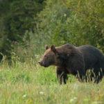 Niedźwiedź brunatny Ursus arctos 3699