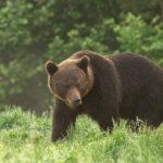 Niedźwiedź brunatny Ursus arctos 4173