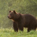 Niedźwiedź brunatny Ursus arctos 4267 1