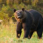 Niedźwiedź brunatny Ursus arctos 4798