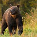 Niedźwiedź brunatny Ursus arctos 4817