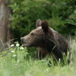 Niedźwiedź brunatny Ursus arctos 5064