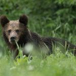 Niedźwiedź brunatny Ursus arctos 5077