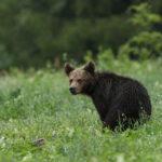 Niedźwiedź brunatny Ursus arctos 5150