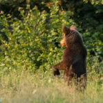 Niedźwiedź brunatny Ursus arctos 6064
