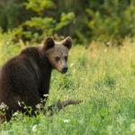 Niedźwiedź brunatny Ursus arctos 6114