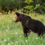 Niedźwiedź brunatny Ursus arctos 6143