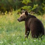 Niedźwiedź brunatny Ursus arctos 6201
