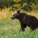 Niedźwiedź brunatny Ursus arctos 6234
