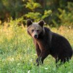 Niedźwiedź brunatny Ursus arctos 6256