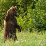 Niedźwiedź brunatny Ursus arctos 6453