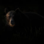 Niedźwiedź brunatny Ursus arctos 8623