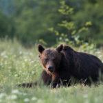 Niedźwiedź brunatny Ursus arctos 8662