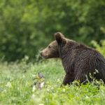 Niedźwiedź brunatny Ursus arctos 9576