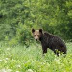 Niedźwiedź brunatny Ursus arctos 9603