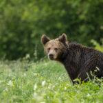 Niedźwiedź brunatny Ursus arctos 9605