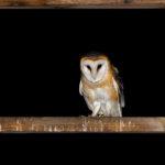 Płomykówka Tyto alba 12001