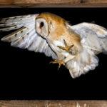Płomykówka Tyto alba 12002