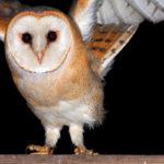 Płomykówka Tyto alba 12004