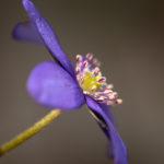 Przylaszczka pospolita Hepatica nobilis 5831