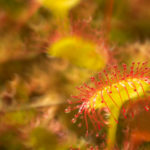 Rosiczka okrągłolistna Drosera rotundifolia 5145