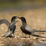 Rybitwa czarna (Chlidonias niger) 8580
