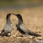 Rybitwa czarna (Chlidonias niger) 85808587