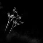 Sasanka wiosenna Anemone vernalis 5221