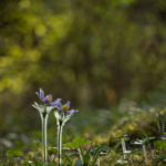 Sasanka wiosenna Anemone vernalis 5249