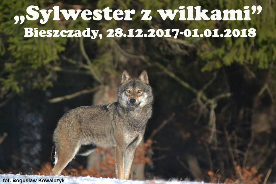 Sylwester z wilkami