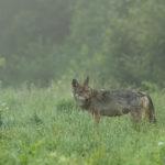 Wilk Canis lupus 0365