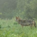 Wilk Canis lupus 0390