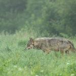 Wilk Canis lupus 0450