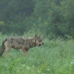 Wilk Canis lupus 0472