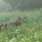 Wilk Canis lupus 0517