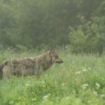Wilk Canis lupus 0541