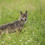 Wilk Canis lupus 0710