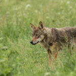 Wilk Canis lupus 0746