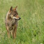 Wilk Canis lupus 0779