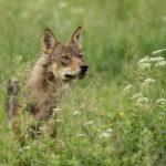 Wilk Canis lupus 0819